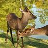 A pair of Sika Deer, Nara Park, Nara