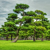 Pine trees at Imperial Palace, Tokyo
