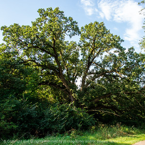 015-oak_tree-wdsm-05sep19-09x09-006-500-3250