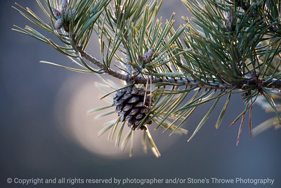 pine_cone-ankeny-20feb16-18x12-003-6581