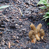 Bit of rogue fungi in the more formal and organized courtyard garden