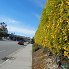 05/26/11 - Wall of yellow flowers by the volleyball court. Found this on the other side which lighting is not as good.