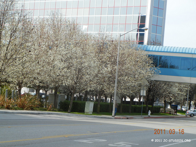 03/16/11 - Spring is here. Roll of trees with flowers blooming. This is during my daily walk around campus.