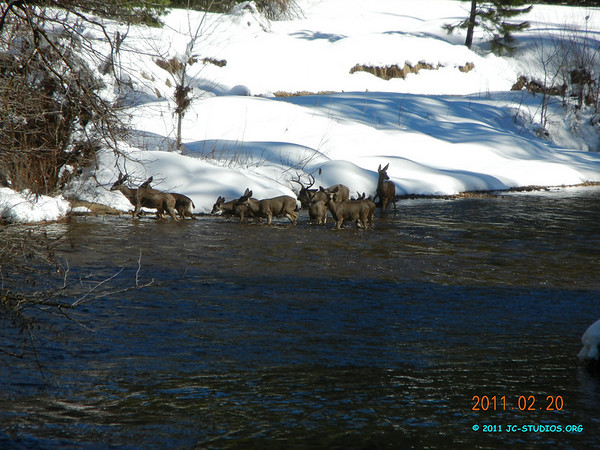 02/20/11 - Yosemite National Park, CA. Father Deer and family of 9 on Merced River. We saw them cross the river to the other side.