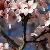 02/12/11 - Plum Tree on my front lawn is blooming. I like the blur of the other flowers... Happy Spring.