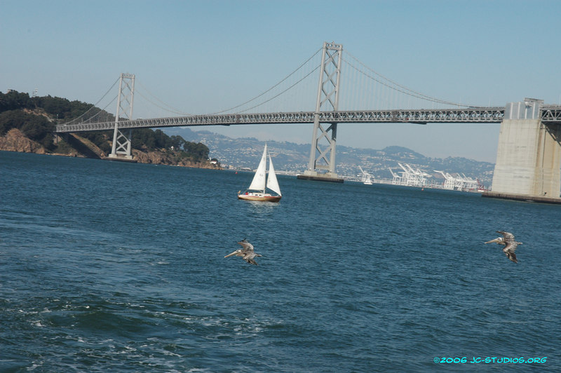 Sailboat and grey Pelicans under the Bay Bridge, San Francisco, CA