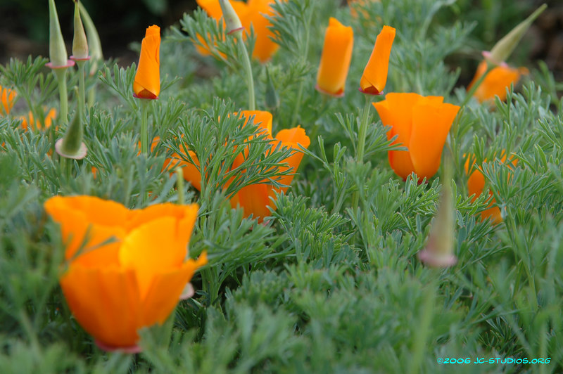 California Poppy, Don Edwards Wildlife Refuge, Alviso, CA