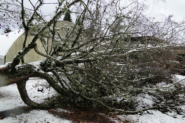 The Nothofagus antartica in the office landscape fell over this week :^(... December 18th 2012