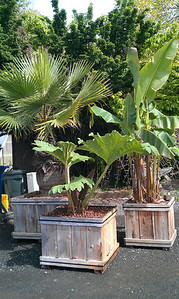 Our Washingtonia robusta, Gunnera manicata & Musa basjoo are out for the Summer.