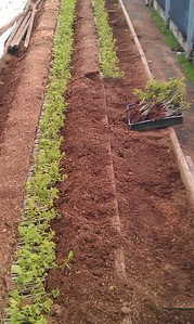 Crimson Spire Oak grafts coming off the Callus beds.