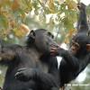 Chimpanzees Bahati and her baby Baroza at Gombe National Park, Tanzania.