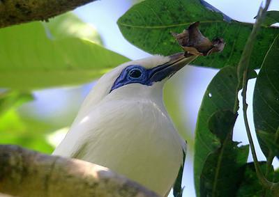 Bali Starlings