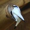 A Bali Starling building a nest.<br /> Photo Credit: Mehd Halaouate / Begawan Foundation