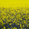 Rapeseed field in Loire Valley