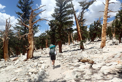 Hiking among the ancient foxtail pines. Photo by Chuck Haak.