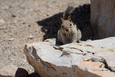 Curious ground squirrel.