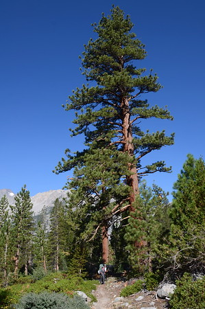 Chuck and Jill under a VERY large Jeffrey pine tree.