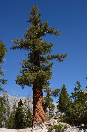 Another Very Large Tree. This one is a western juniper.