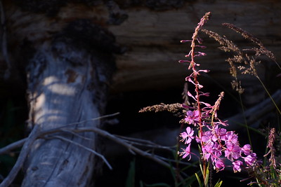 Very appropriate for fireweed to be growing here.