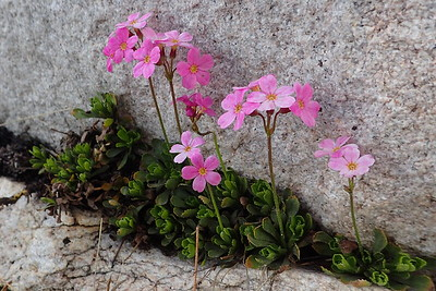Sierra primrose. Photo by Chuck Haak.