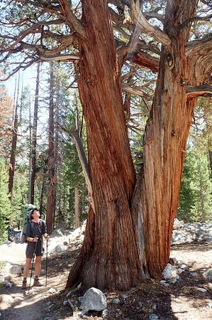 Jill admiring a very large western juniper tree. Photo by Chuck Haak.