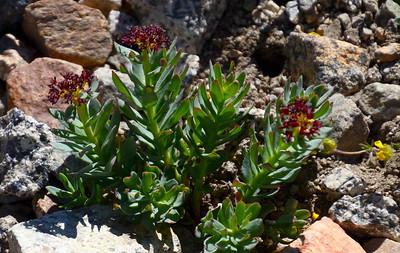 Western roseroot. (This same flower in Colorado is called King's Crown).