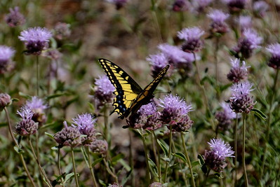 Swallowtail butterfly on mountain monardella.
