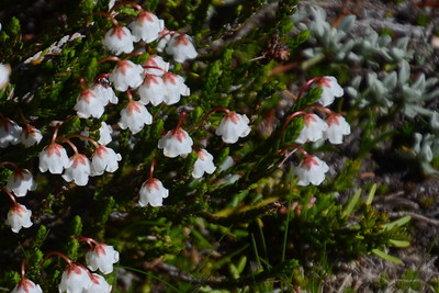 White mountain heather