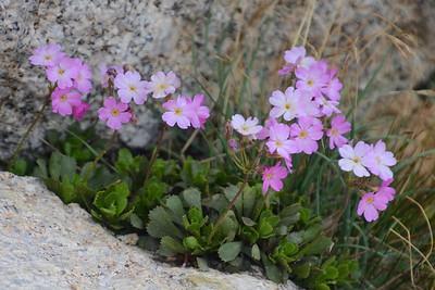 Sierra primrose