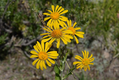 These flowers are what's known as a DYCs, or damn yellow composites. This a widely-used term referring to any of the numerous species of composite flowers (family Asteraceae) that have yellow flowers and can be difficult to tell apart in the field.