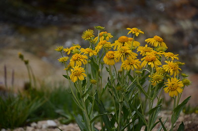 Possibly hairy arnica.