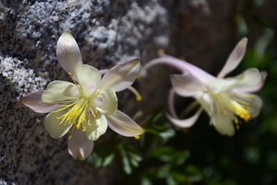 But wait... more columbines! (If you couldn't tell, I'm especially fond of columbines).