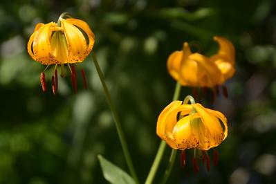 Kelley's lily
