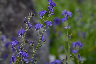 Monkshood, the only time I saw this deadly flower along the trail.