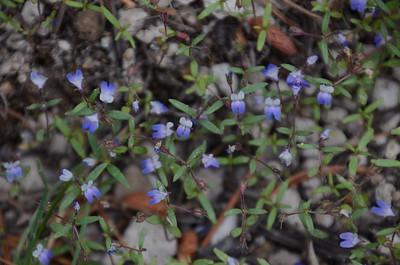Small-flowered blue-eyed Mary