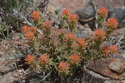 Wavyleaf paintbrush