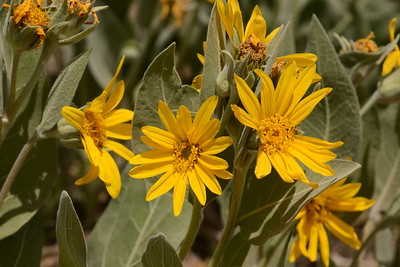 Mountain mule ears