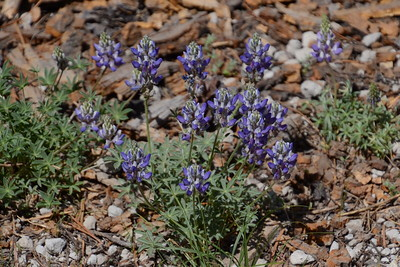 There's a BUNCH of different kinds of lupine. I'm not sure what one this is.