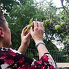 June 29, 2016 Boston, MA Kim checking on her apple tree, which caterpillars have infested, in the Fenway Victory Gardens.
