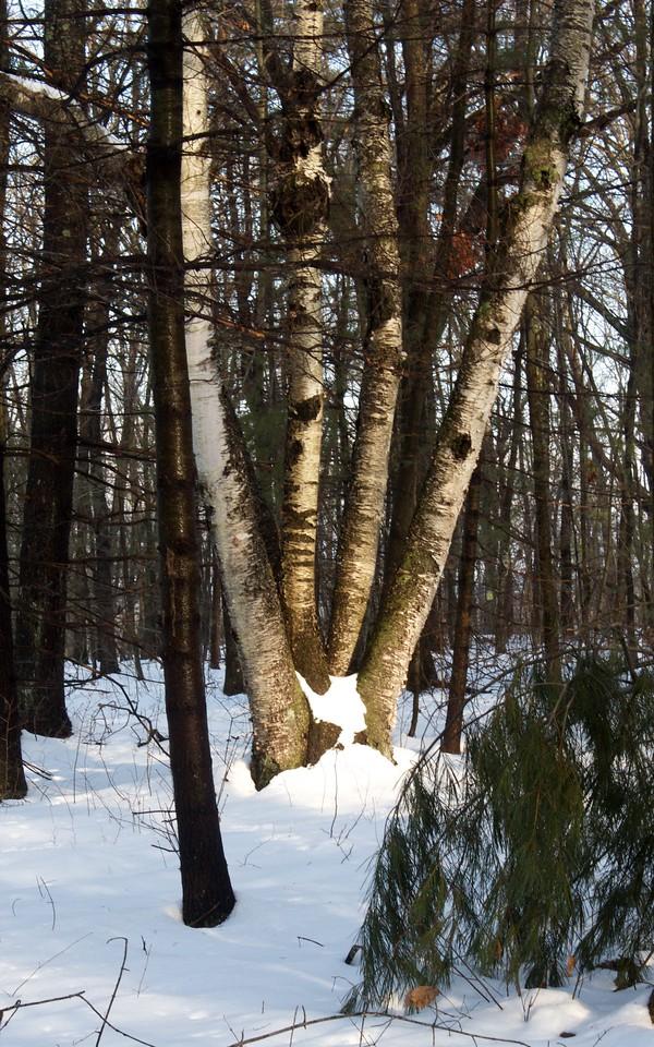 A snowy birch tree is light by the setting sun in Warren, MA on March 3, 2012.