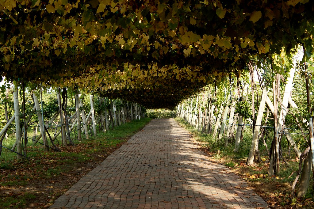 Wild grape vines hang over a brick path at Lookout Farm in Natick, MA.
