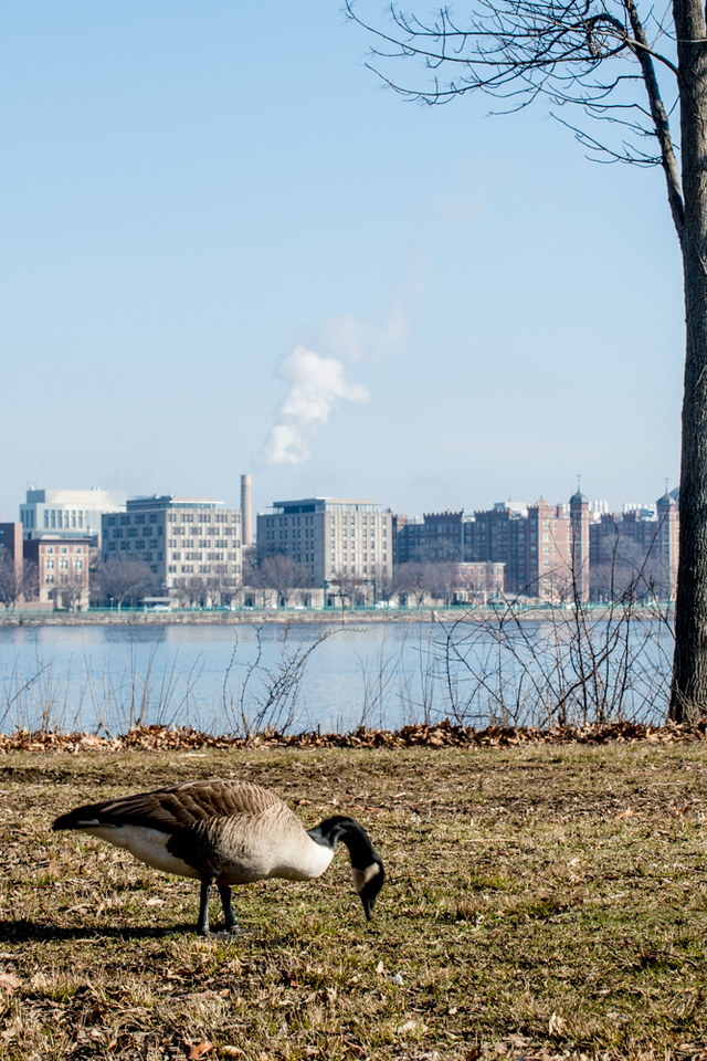 """Scenes from the esplanade on the 11th of April. This is a segment from the, """"24 hours, two bridges"""", project. A goose rumages for food with the city of Cambridge in the background. (Photos by Billy Bevevino)"""