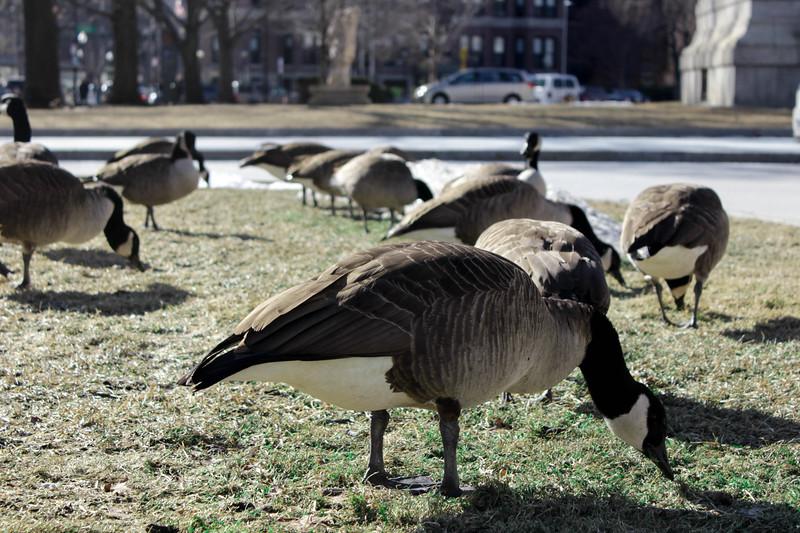 Ducks outside Musem of Fine Arts