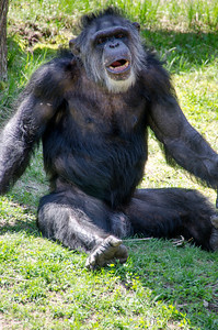 CHIMP WITH TEETH