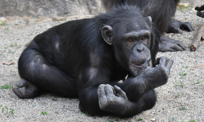 CHIMP LAYING DOWN COLOR