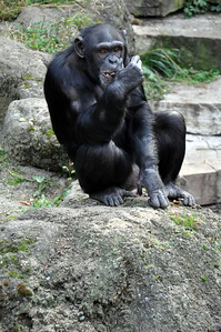 CHIMP ON ROCK