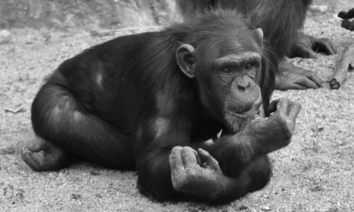 CHIMP LAYING DOWN B&W