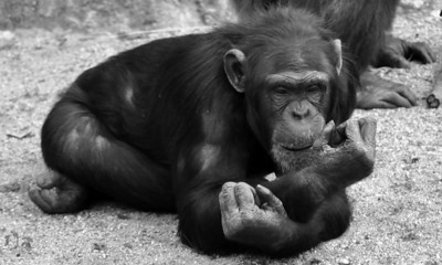 CHIMP LAYING DOWN