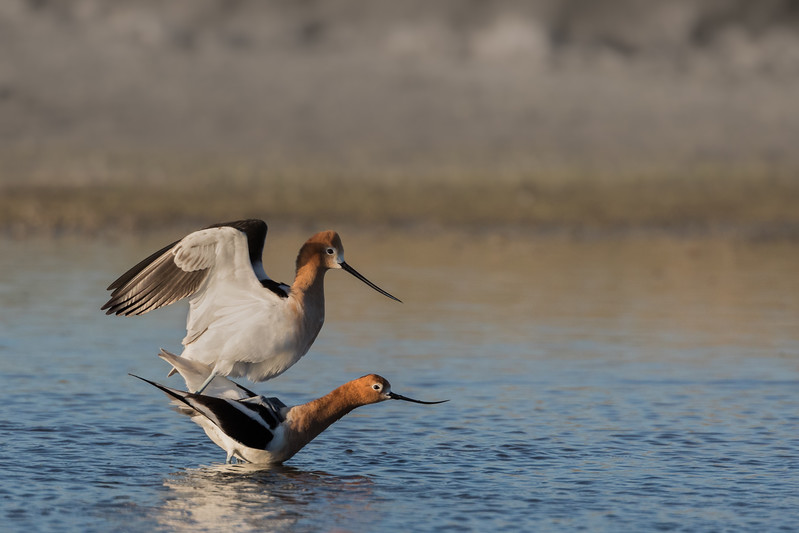 Mounting - Mating Ritual American Avocets