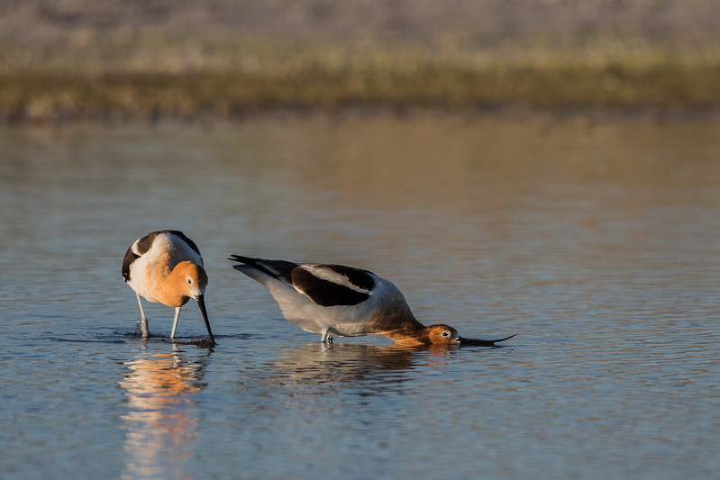 Initiation - Mating Ritual American Avocets